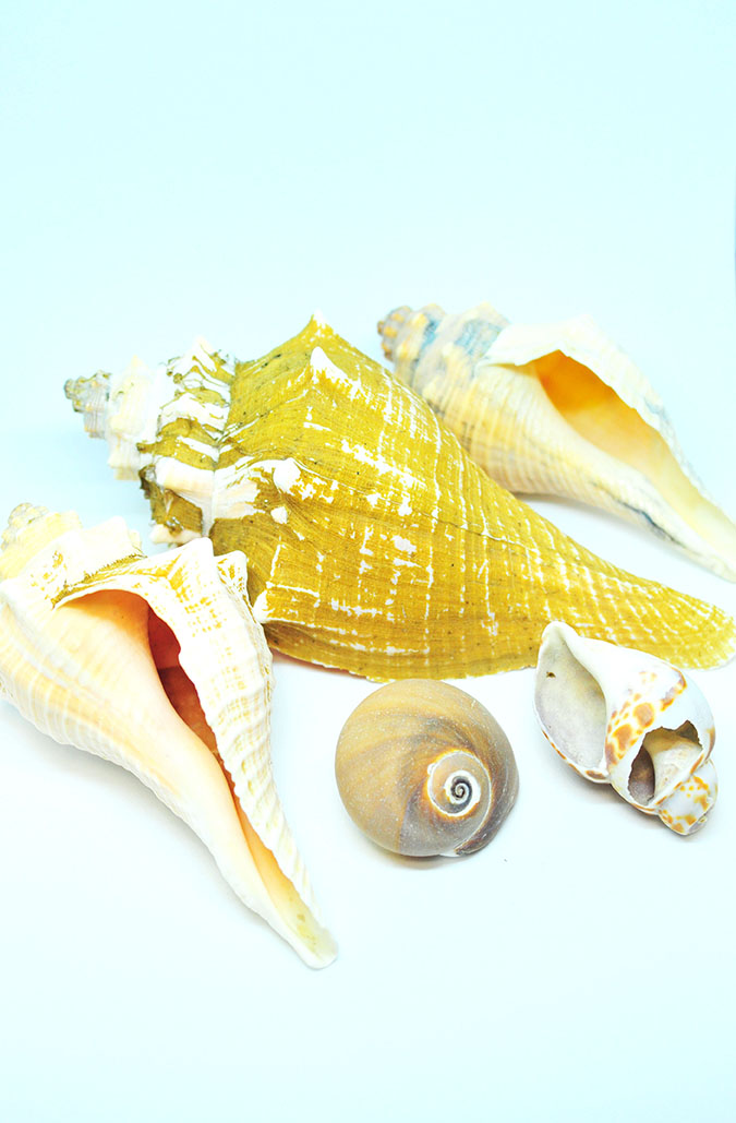 大きいものは17cmの貝殻たち。0円インテリアのススメ